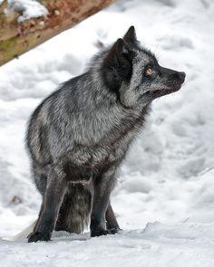 ='silver fox in snow