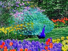 Here are some interesting facts about peacocks, the national bird of India. Do you know that peacock is just the male bird of the species peafowl, and the female birds are called peahen. Peacock is also. Most Beautiful Birds, Pretty Birds, Love Birds, Beautiful Pictures, He's Beautiful, Beautiful Flowers, Peacock Facts, Peacock Colors, Bold Colors