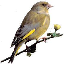 groenling / Jan Nijendijk (Saxifraga) De veren van de groenling hebben alle schakeringen van groen en geel. Hij leeft het liefst in de omgeving van stekelige planten en dichte struiken. U kunt hem bijvoorbeeld in een conifeer aantreffen. Wilt u de groenling tracteren, zorg dan voor zonnebloempitten. Met zijn stevige snavel 'trilt' hij de zaden heel handig los uit het omhulsel.
