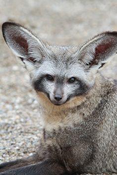 Fox | Vixen | Tod | Renard | лисица | Zorro | 狐 | Sionnach | Volpe | Bat Eared Fox