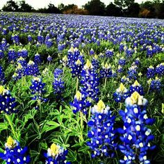 Bluebonnets in Brenham, Texas End of March best time to take pictures