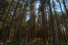 Mediterranean pine forest, mountain Parnon, Sparta - Mediterranean pine forest… Forest Mountain, Pine Forest, Forests, Landscapes, World, Plants, Woods, Paisajes, Scenery