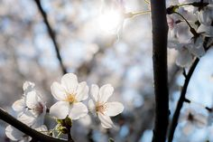 Cherry Blossoms by Fuad Kamal - Photo 146886247 - 500px