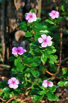 A flor da vinca é ótima no tratamento de memória