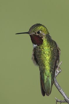 Detail of broad-tailed hummingbird.