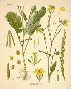 Do You Know the Power of Mustard Seeds? | Herbal Academy of New England