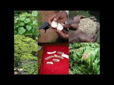 Medicinal Rice B4 Formulations for Syphilitic Rheumatism: Pankaj Oudhia'...