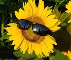 Cool sunflower                                                                                                                                                      More