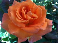 Rose. Ruusu.