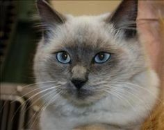 Satin is an adoptable Ragdoll Cat in Riverside, CA. Hi! Im Satin, a beautiful and feisty girl. Ill do well with adults, teens and other cats. Although. I do have visions of being the only princess in ...