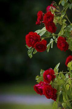 Red roses on We Heart It Beautiful Flowers Wallpapers, Beautiful Rose Flowers, Beautiful Nature Wallpaper, Pretty Wallpapers, Pretty Flowers, Rose Flower Wallpaper, Flower Backgrounds, Good Morning Flowers, Flower Power
