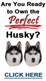 Husky Advice - Training, Care, Health and more
