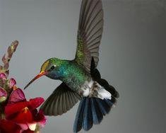 kolibrie - Elex Yahoo-Zoekresultaten