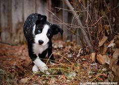 Border Collie Puppy - Allison Mae Photography http://allisonmae.com