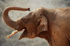 Photo taken at the Denver Zoo in Colorado. The Asian or Asiatic elephant…