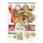The Ear Organs Of Hearing And Balance Anatomical Chart