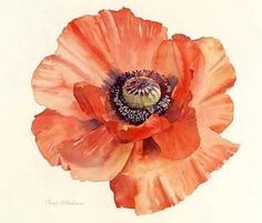 Poppy, Botanical Illustration, Cheryl Wilbraham, SAA Professional Members' Galleries