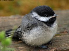 Black-capped Chickadee baby - isn't this about the cutest thing? So fluffy!