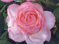 Honore de Balzac is a pink garden rose