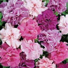 Double Cascade Hybrid Mix Petunia Flower Seeds