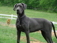 I love great danes.. this one makes me think of my Hitler I had..
