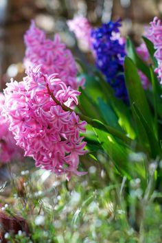 hyacinths in bloom | Lisa Hjalt
