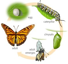 LIfe Cycle of a caterpillar/butterfly