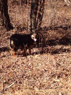 #Founddog 2-5-15 LOOSE #Barboursville #VA #Rottweiler mix www.USLostDogRegistry.com kendrar1@gmail.com