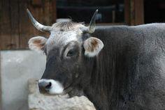 vache grise rhétique Cows, Animals, Virginia, Good Photos, Animales, Animaux, Animal, Animais