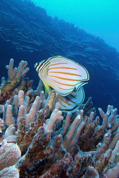 Butterfly fish, Hawaii ~ striped by BarryFackler on Flickr*
