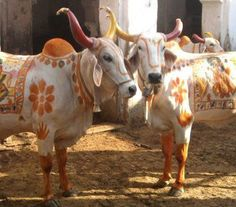 cows and oxen decoration, India Cow Pictures, Cow Photos, Planet Love, Mother India, Amazing India, Indian Heritage, Rajasthan India, Jaipur, We Are The World
