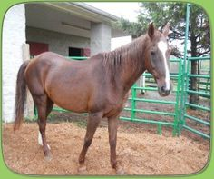 Hannah is an adoptable Grade Horse in Marengo, OH. **Please click on our organization name 'Circle P Sanctuary and Ranch' for more information on adoption policies and fees** ___Hannah History____ Han...
