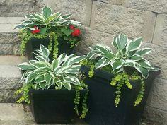 My version of hostas in a pot =)