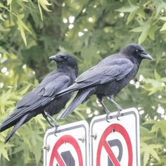 "June Hunter (@junehunterimages) on Instagram: ""Eric and Clara. Vigilant parking restriction enforcers. #crow #corvid #traffic #rules #enforcement…"""