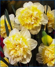 Narcissus Ice King - Double Narcissi - Narcissi - 100