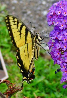 Swallowtail Butterfly on Purple Butterfly Bush