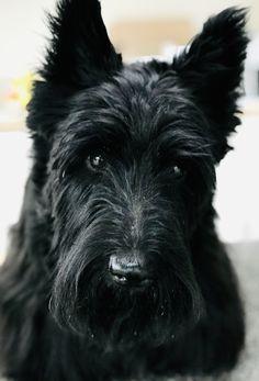 Scottish Terrier Puppy, Scottie Dogs, Corgis, Puppies, World, Dog, Cubs, Scottish Terrier, Corgi