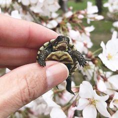 adorable baby turtle @peonytheturtle Baby Turtles, Reptiles, Cherry Blossom, Peonies, Cute Babies, Rings For Men, Bloom, Instagram, Men Rings