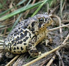 Wyoming Toad