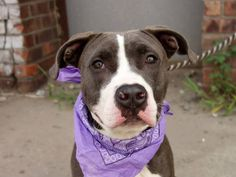 TO BE DESTROYED 8/4/14 Brooklyn Center -P  My name is BELLA BLUE aka BLUE. My Animal ID # is A1007500. I am a female gray and white pit bull mix. The shelter thinks I am about 2 YEARS old.  I came in the shelter as a STRAY on 07/21/2014 from NY 11367, owner surrender reason stated was STRAY.  https://www.facebook.com/Urgentdeathrowdogs/photos/a.611290788883804.1073741851.152876678058553/844432902236257/?type=1