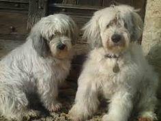 Two Polish Lowland Sheepdog Dogs Photo 1600×1200 #195129 ...
