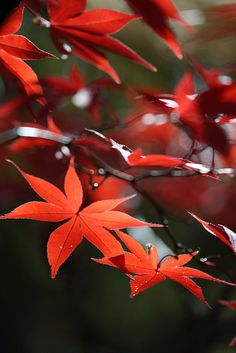 red leaves #autumn