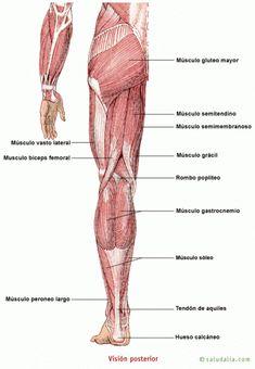 principales musculos del cuerpo humano para niños de primaria