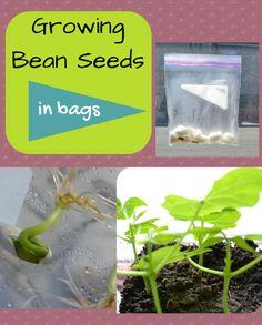 Growing bean seeds in bags | P is for Preschooler