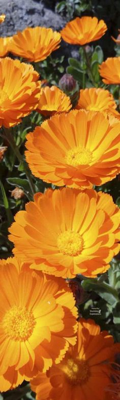 | Marigold – October Flower | – Stunning Expressions #flowers # цветы