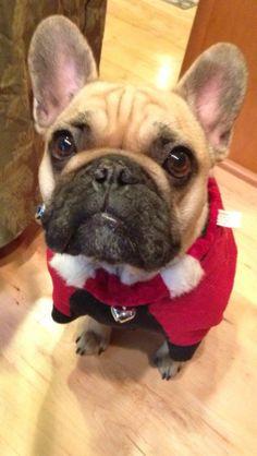 Dog dressed as santa for Christmas http://streetstyledogs.com/baron-christmas-contest-entry/