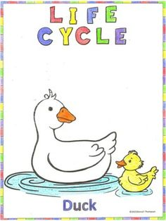 Life Cycle of Ducks! $ https://www.teacherspayteachers.com/Store/Donna-Thompson