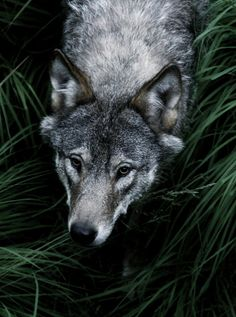 ability to pass unseen. familial and social values. instinct linked with intelligence. skill in the protection of self and family. Pet Wolf, Wolf Husky, Animals And Pets, Baby Animals, Cute Animals, Canis Lupus, Wolf Spirit Animal, Wolf Photos, Nature Pictures