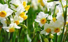 white daffodils flower Narcissus Flower, Daffodil Flower, My Flower, Daffodil Bulbs, Types Of White Flowers, Birth Month Flowers, Digital Photo Frame, Spring Wedding Flowers, Spring Bulbs