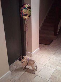 Pug up and away